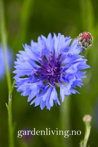 Bilde av Kornblomst 'Blue Ball' - Centaurea cyanus