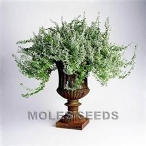 Bilde av Helichrysum microphyllum 'Silver Mist'