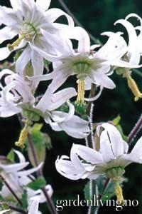 Bilde av Michauxia campanuloides