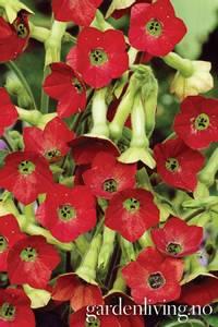 Bilde av Tobakk, pryd- 'Tinkerbell' - Nicotiana x hybrida