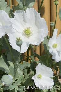 Bilde av Valmue, pion 'Sissinghurst White' - Papaver somniferum