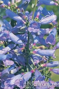 Bilde av Rørblomst 'Electric Blue' - Penstemon heterophyllus
