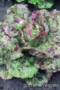Bilde av Salat, Blad 'Mottistone' - Lactuca