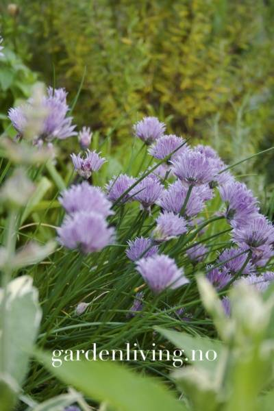 Gressløk 'Staro' - Allium schoenoprasum, Organic