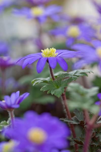 Balkansymre - Anemone blanda - 20 stk