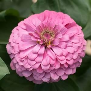Bilde av Sinnia 'Benary' Bright Pink' - Zinnia elegans