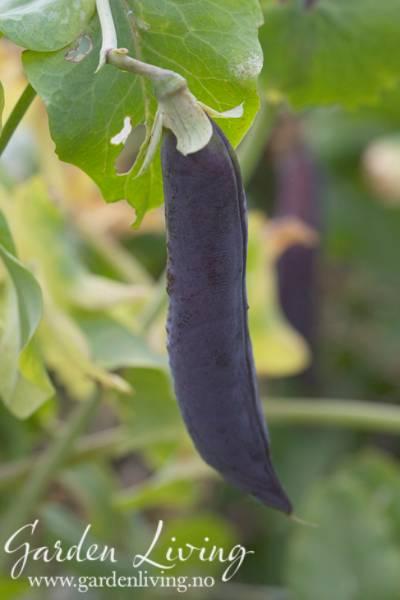Ert 'Shiraz' - Pisum sativum