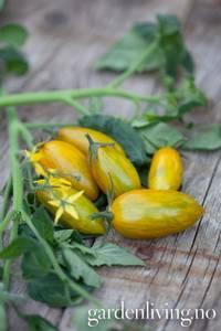 Bilde av Tomat, Frilands- cocktail 'Artisan Green Tiger'