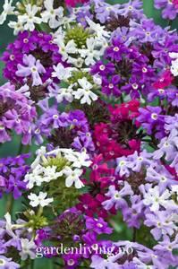 Bilde av Verbena tenuisecta 'Desert Jewel Mixed'