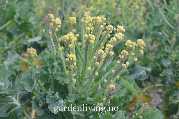 Brokkoli 'Burbank' F1 - Brassica oleracea
