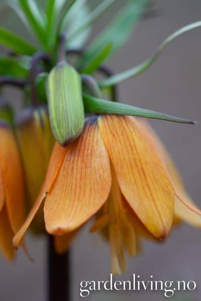 Fritillaria 'Satie' - 1 stk
