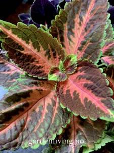 Bilde av Praktspragle 'Wizard® Coral Sunrise' - Solenostemon blumei