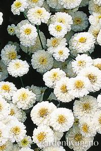 Bilde av Matrem 'Tetra White' - Tanacetum parthenium