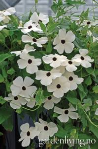 Bilde av Vingethunbergia 'Susi White Black Eye'