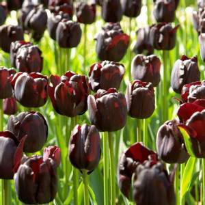 Bilde av Tulipan 'Paul Scherer', Triumph - 10 stk
