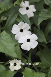 Bilde av Vingethunbergia 'Alba Oculata'