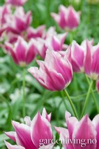 Bilde av Tulipan 'Claudia', Liljeblomstrende - 5 stk