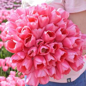 Bilde av Tulipan 'Sissi', Triumph - 10 stk