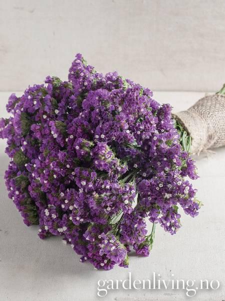 Knerisp 'Seeker Purple' - Limonium sinuatum