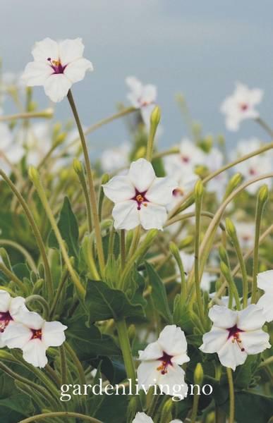Mirakelblomst - Mirabilis longiflora