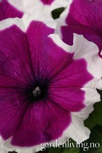 Bilde av Petunia 'Finity Purple Frost' F1