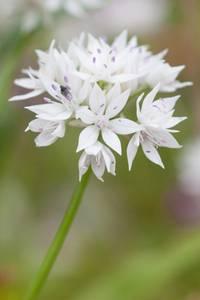 Bilde av Prydløk 'Graceful Beauty' - Allium amplectens - 6 stk