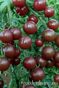 Bilde av Tomat, Drivhus- cocktail 'Black Opal'