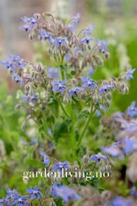 Bilde av Agurkurt - Borago officinalis - Organic