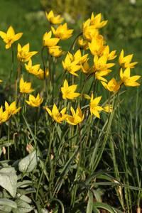Bilde av Skogtulipan - Tulipa sylvestris - 10 stk
