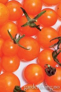 Bilde av Tomat, Drivhus- cocktail 'Currant Goldrush'