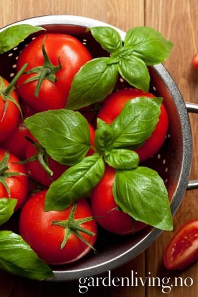Tomat, Drivhus- 'Ferline' F1
