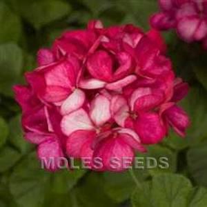 Bilde av Pelargonium 'Maverick™ Violet Picotee' F1