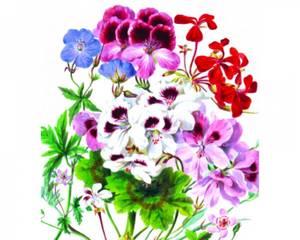 Bilde av NHM Kort, dobbelt med konvolutt - Geranium og Pelargonium