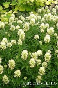 Bilde av Trifolium ochroleucum