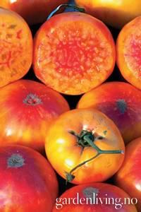 Bilde av Tomat, Drivhus- 'Hillbilliy Potato Leaf'